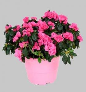 louloudi roz kai glastra gia dwro